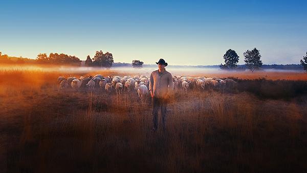 sheep hero ton van zantvoort.jpg